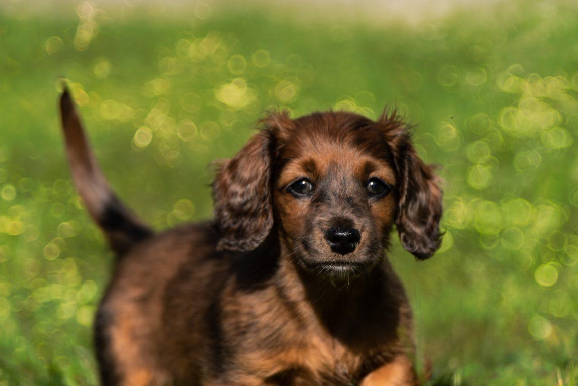 dachshund-teckel-o-perro-salchicha